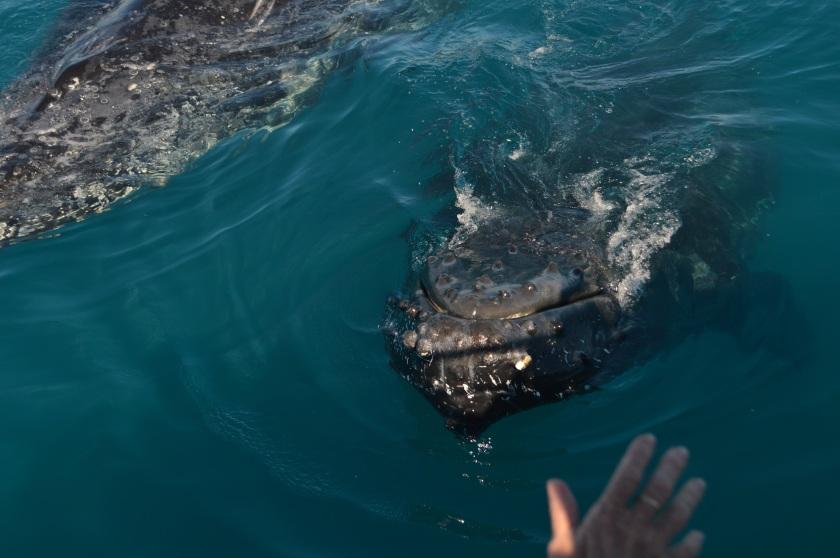 Walvissen hand